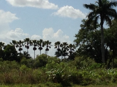 Palm trees in the Everglades